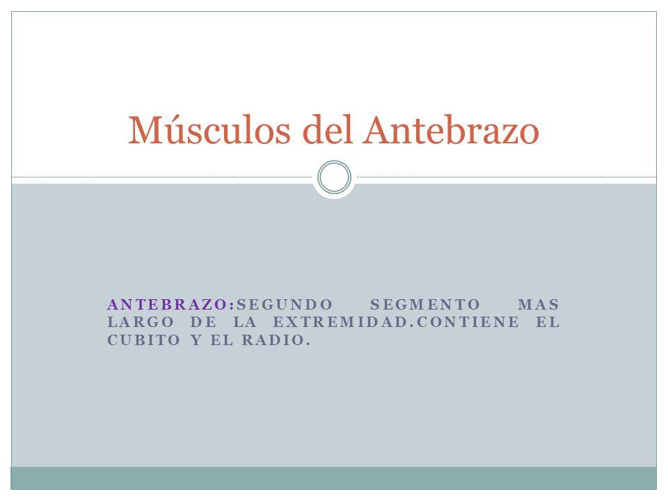 ANTEBRAZO:SEGUNDO SEGMENTO MAS LARGO DE LA EXTREMIDAD.CONTIENE EL CUBITO Y EL RADIO. Músculos del Antebrazo