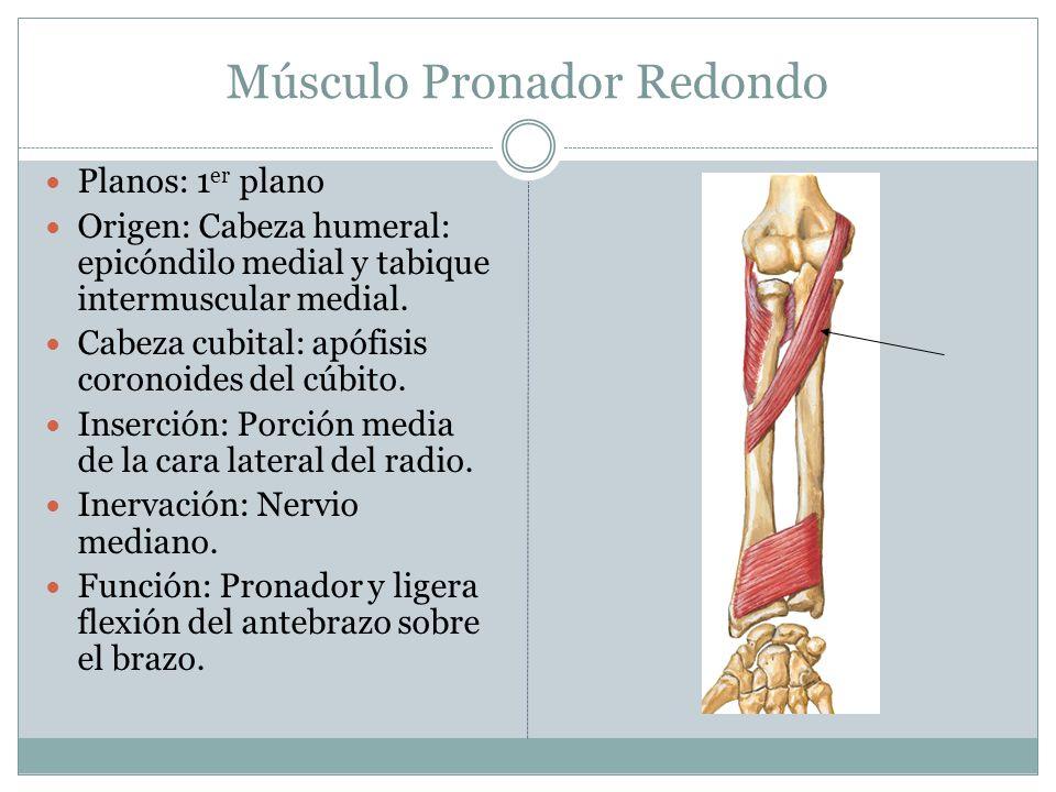 Músculo Pronador Redondo Planos: 1 er plano Origen: Cabeza humeral: epicóndilo medial y tabique intermuscular medial. Cabeza cubital: apófisis coronoi
