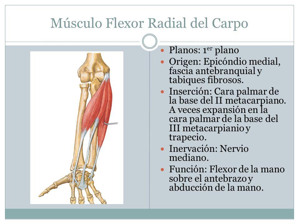 Músculo Flexor Radial del Carpo Planos: 1 er plano Origen: Epicóndio medial, fascia antebranquial y tabiques fibrosos. Inserción: Cara palmar de la ba