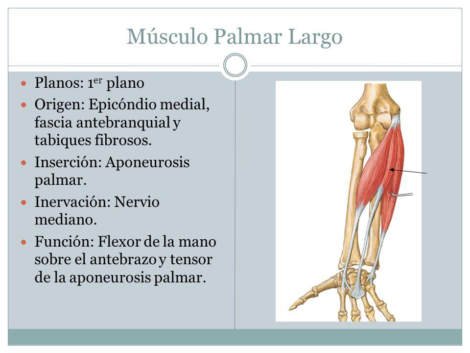 Músculo Palmar Largo Planos: 1 er plano Origen: Epicóndio medial, fascia antebranquial y tabiques fibrosos. Inserción: Aponeurosis palmar. Inervación:
