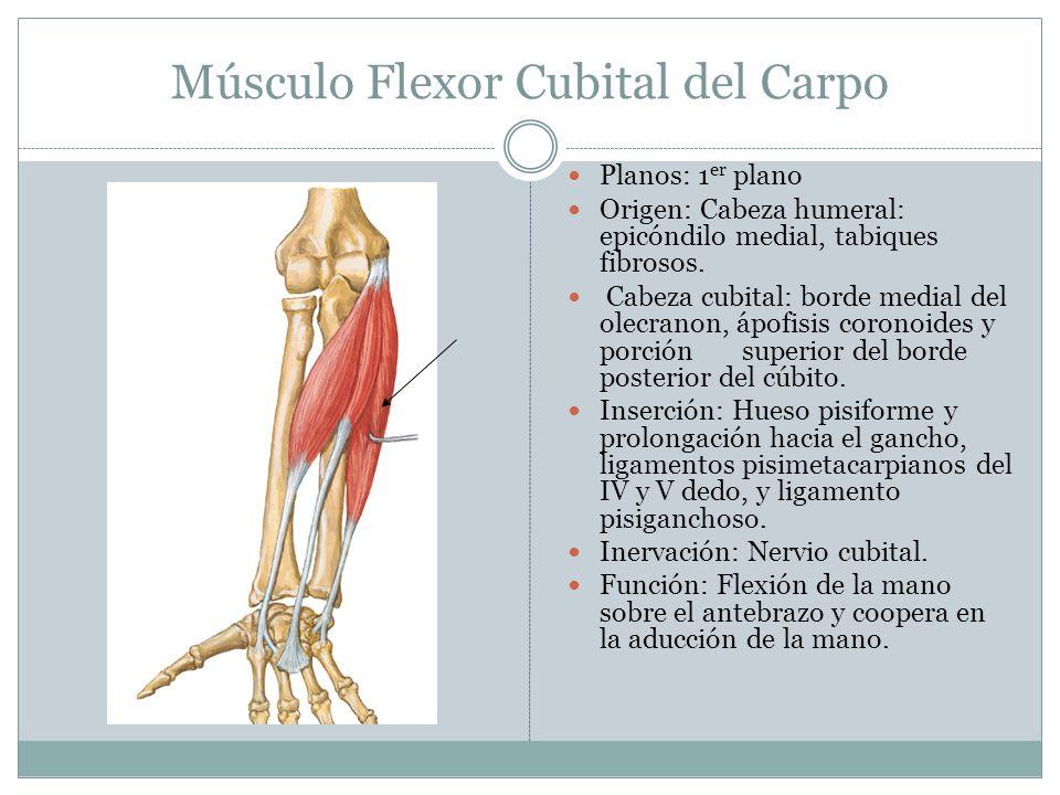 Músculo Flexor Cubital del Carpo Planos: 1 er plano Origen: Cabeza humeral: epicóndilo medial, tabiques fibrosos. Cabeza cubital: borde medial del ole