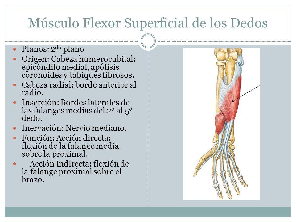 Músculo Flexor Superficial de los Dedos Planos: 2 do plano Origen: Cabeza humerocubital: epicóndilo medial, apófisis coronoides y tabiques fibrosos. C
