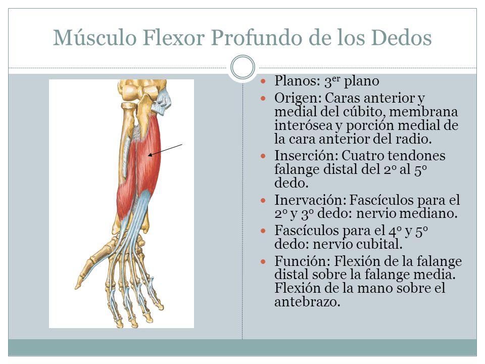 Músculo Flexor Profundo de los Dedos Planos: 3 er plano Origen: Caras anterior y medial del cúbito, membrana interósea y porción medial de la cara ant