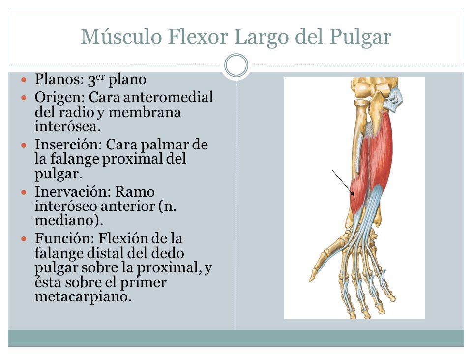 Músculo Flexor Largo del Pulgar Planos: 3 er plano Origen: Cara anteromedial del radio y membrana interósea. Inserción: Cara palmar de la falange prox
