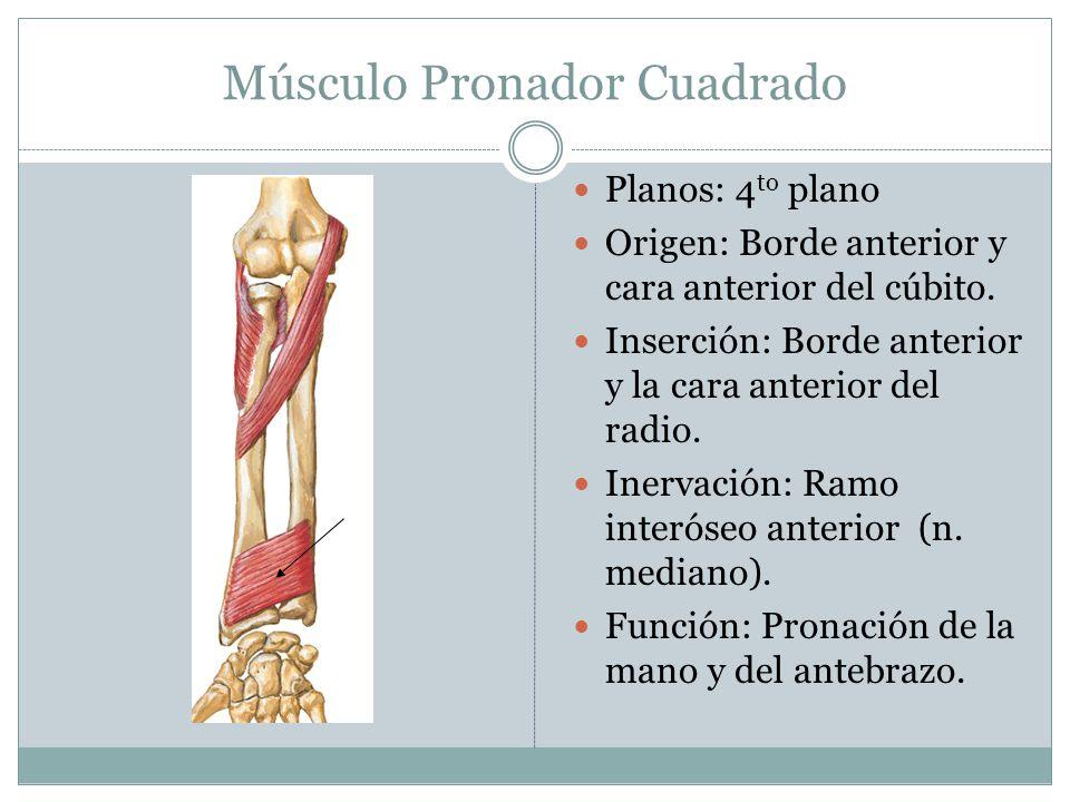 Músculo Pronador Cuadrado Planos: 4 to plano Origen: Borde anterior y cara anterior del cúbito. Inserción: Borde anterior y la cara anterior del radio