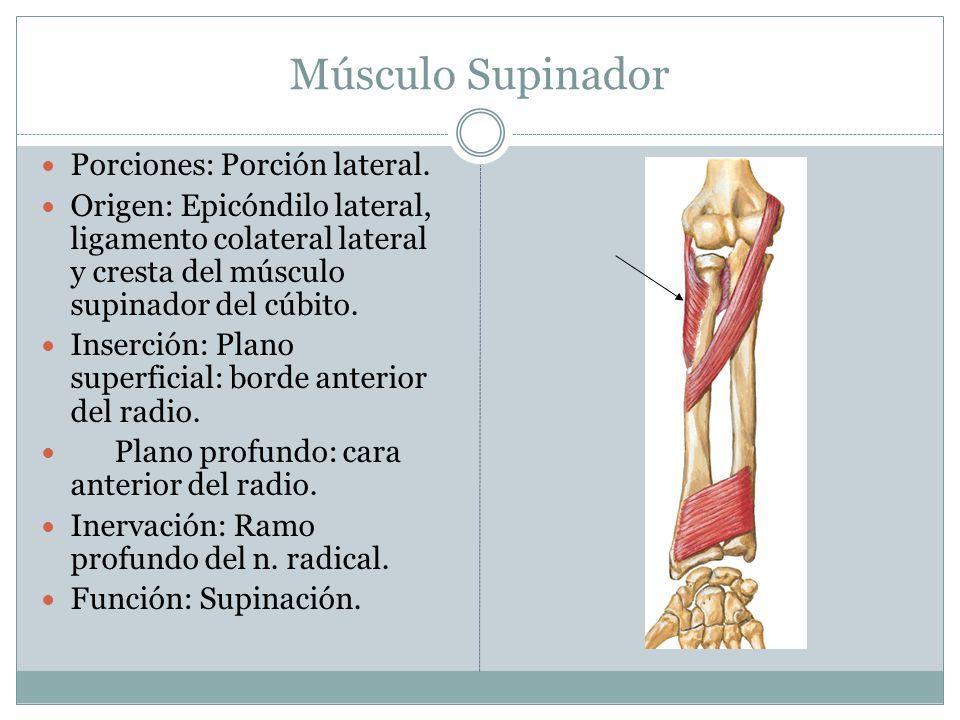 Músculo Supinador Porciones: Porción lateral. Origen: Epicóndilo lateral, ligamento colateral lateral y cresta del músculo supinador del cúbito. Inser