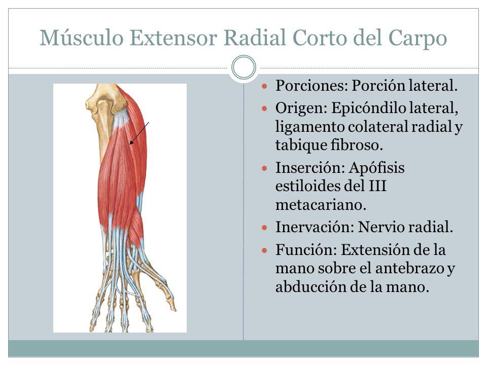 Músculo Extensor Radial Corto del Carpo Porciones: Porción lateral. Origen: Epicóndilo lateral, ligamento colateral radial y tabique fibroso. Inserció