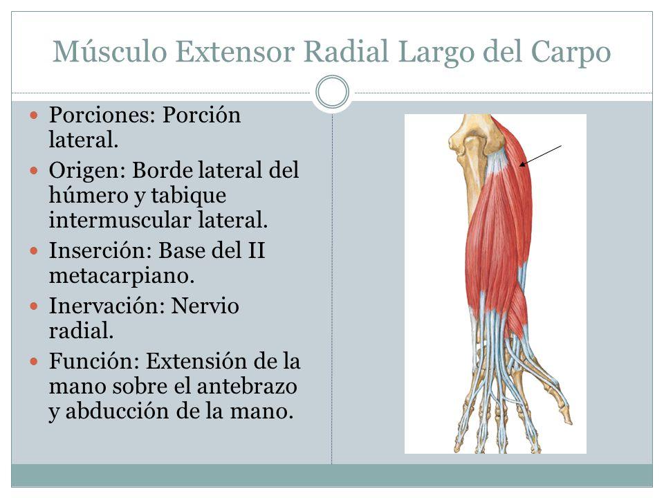 Músculo Extensor Radial Largo del Carpo Porciones: Porción lateral. Origen: Borde lateral del húmero y tabique intermuscular lateral. Inserción: Base