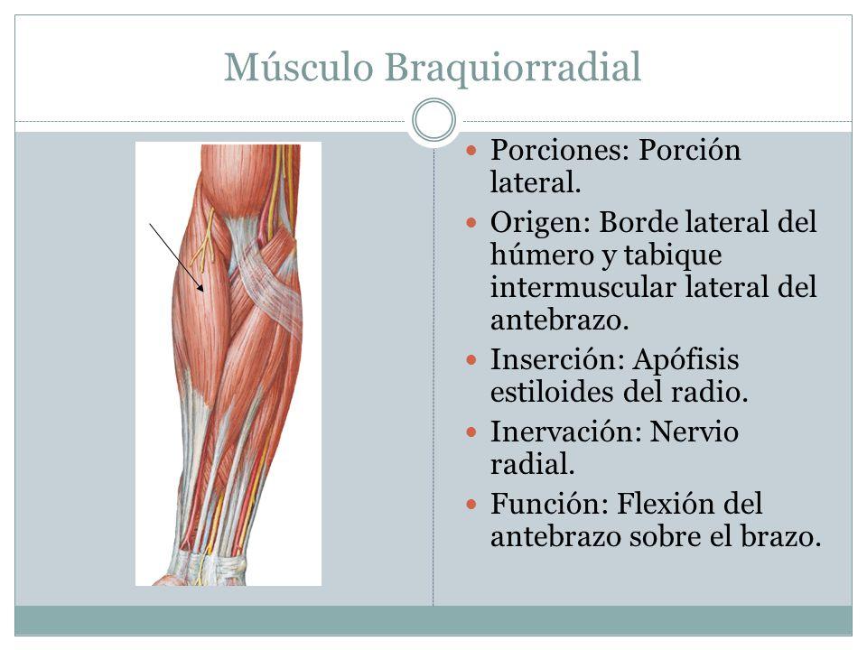 Músculo Braquiorradial Porciones: Porción lateral. Origen: Borde lateral del húmero y tabique intermuscular lateral del antebrazo. Inserción: Apófisis