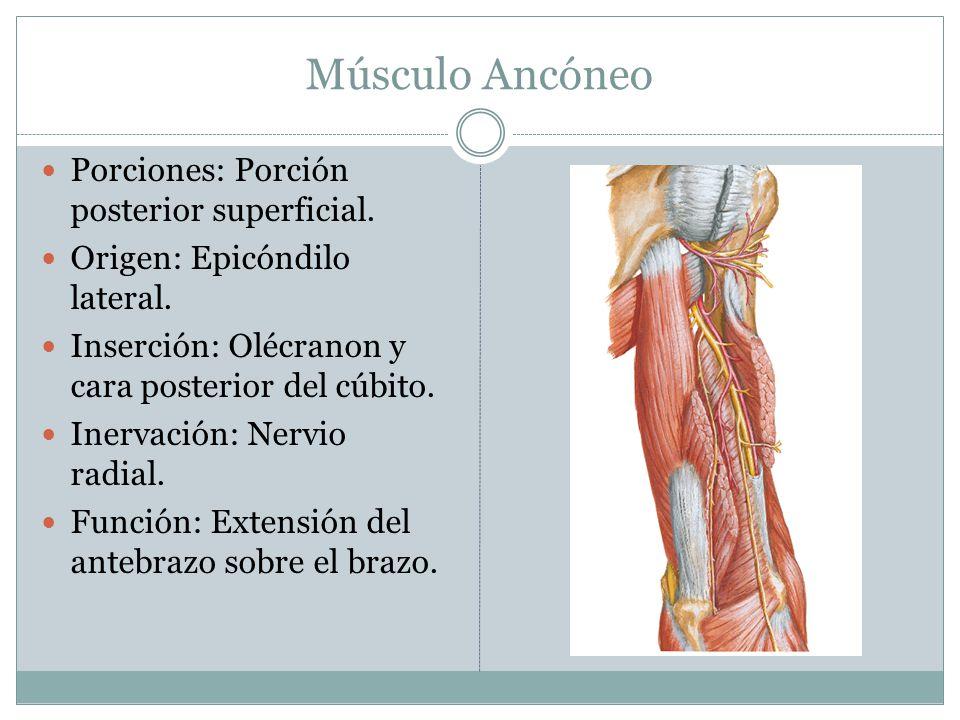 Músculo Ancóneo Porciones: Porción posterior superficial. Origen: Epicóndilo lateral. Inserción: Olécranon y cara posterior del cúbito. Inervación: Ne
