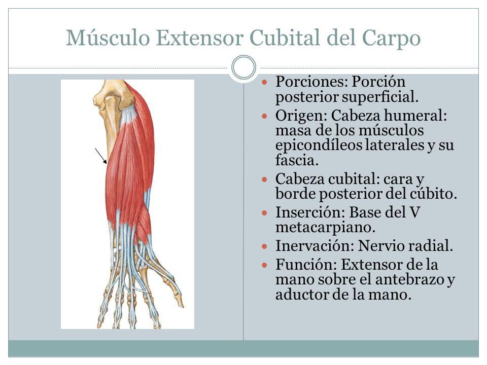 Músculo Extensor Cubital del Carpo Porciones: Porción posterior superficial. Origen: Cabeza humeral: masa de los músculos epicondíleos laterales y su