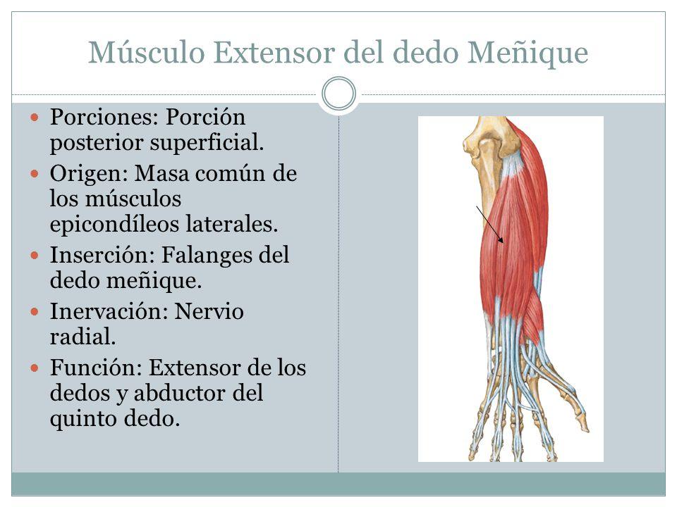 Músculo Extensor del dedo Meñique Porciones: Porción posterior superficial. Origen: Masa común de los músculos epicondíleos laterales. Inserción: Fala