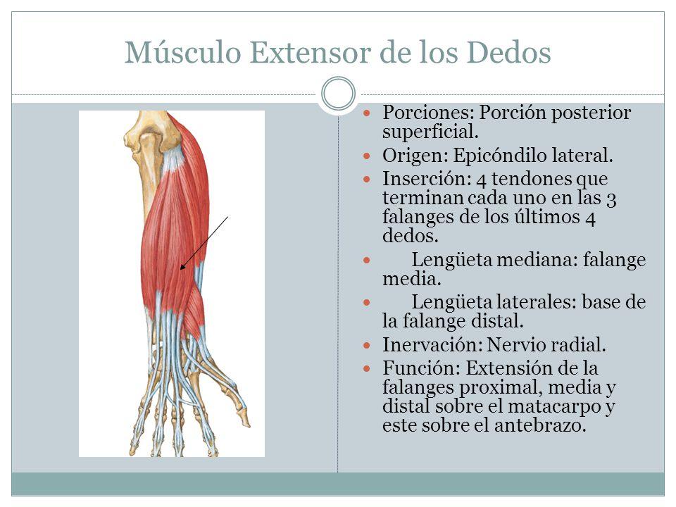 Músculo Extensor de los Dedos Porciones: Porción posterior superficial. Origen: Epicóndilo lateral. Inserción: 4 tendones que terminan cada uno en las