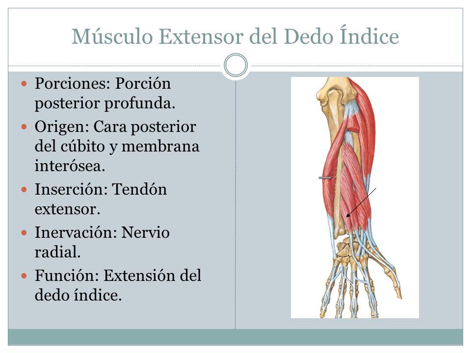 Músculo Extensor del Dedo Índice Porciones: Porción posterior profunda. Origen: Cara posterior del cúbito y membrana interósea. Inserción: Tendón exte