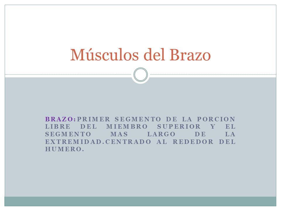 BRAZO:PRIMER SEGMENTO DE LA PORCION LIBRE DEL MIEMBRO SUPERIOR Y EL SEGMENTO MAS LARGO DE LA EXTREMIDAD.CENTRADO AL REDEDOR DEL HUMERO. Músculos del B