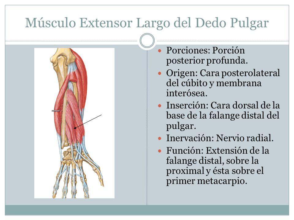 Músculo Extensor Largo del Dedo Pulgar Porciones: Porción posterior profunda. Origen: Cara posterolateral del cúbito y membrana interósea. Inserción: