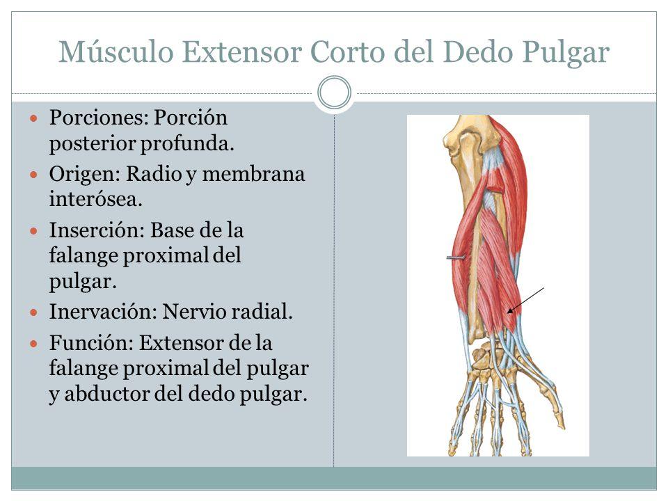 Músculo Extensor Corto del Dedo Pulgar Porciones: Porción posterior profunda. Origen: Radio y membrana interósea. Inserción: Base de la falange proxim