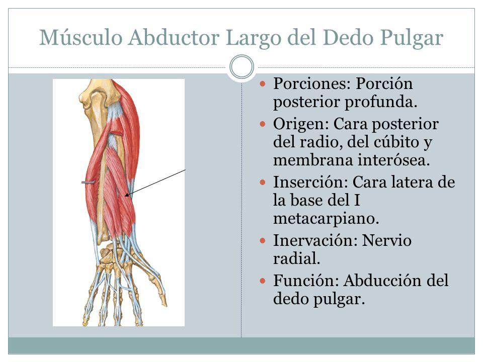 Músculo Abductor Largo del Dedo Pulgar Porciones: Porción posterior profunda. Origen: Cara posterior del radio, del cúbito y membrana interósea. Inser