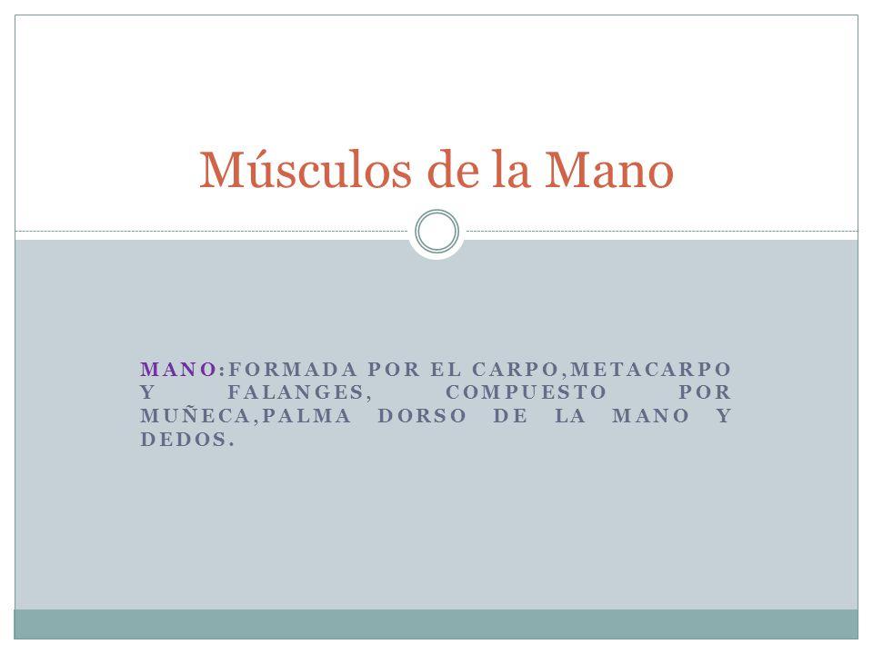 MANO:FORMADA POR EL CARPO,METACARPO Y FALANGES, COMPUESTO POR MUÑECA,PALMA DORSO DE LA MANO Y DEDOS. Músculos de la Mano