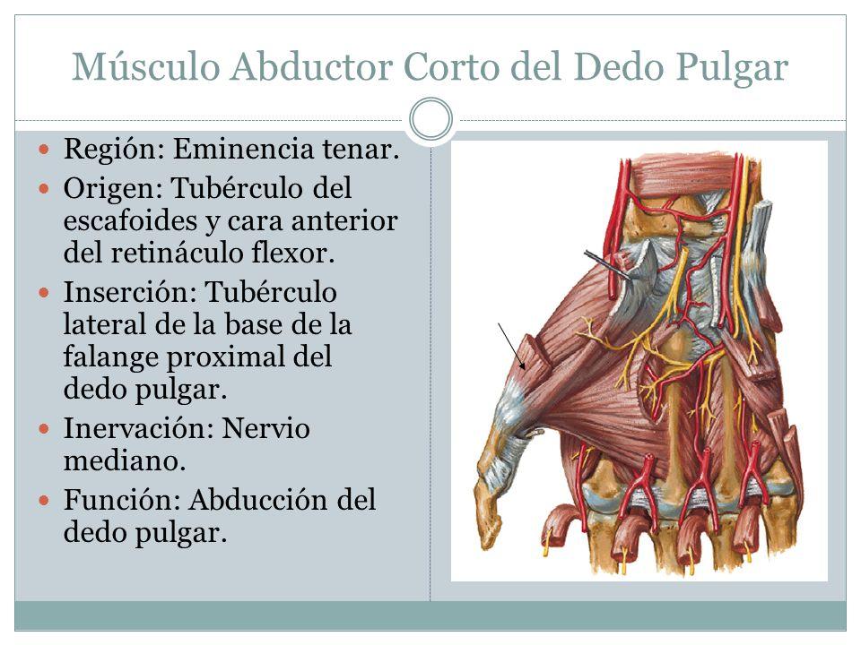 Músculo Abductor Corto del Dedo Pulgar Región: Eminencia tenar. Origen: Tubérculo del escafoides y cara anterior del retináculo flexor. Inserción: Tub