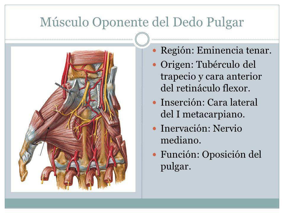 Músculo Oponente del Dedo Pulgar Región: Eminencia tenar. Origen: Tubérculo del trapecio y cara anterior del retináculo flexor. Inserción: Cara latera
