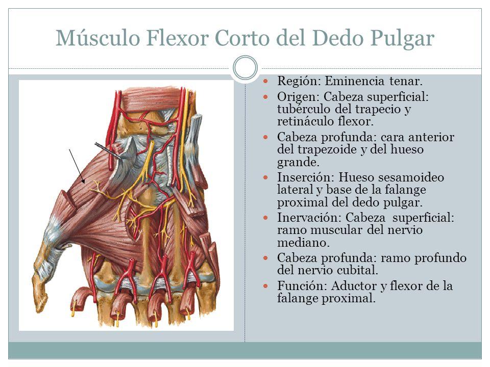 Músculo Flexor Corto del Dedo Pulgar Región: Eminencia tenar. Origen: Cabeza superficial: tubérculo del trapecio y retináculo flexor. Cabeza profunda: