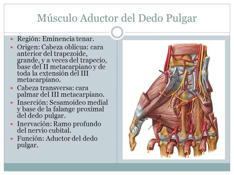 Músculo Aductor del Dedo Pulgar Región: Eminencia tenar. Origen: Cabeza oblicua: cara anterior del trapezoide, grande, y a veces del trapecio, base de