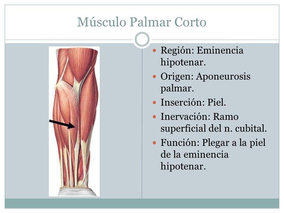 Músculo Palmar Corto Región: Eminencia hipotenar. Origen: Aponeurosis palmar. Inserción: Piel. Inervación: Ramo superficial del n. cubital. Función: P