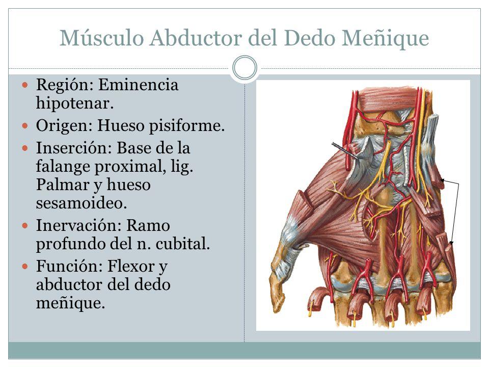 Músculo Abductor del Dedo Meñique Región: Eminencia hipotenar. Origen: Hueso pisiforme. Inserción: Base de la falange proximal, lig. Palmar y hueso se