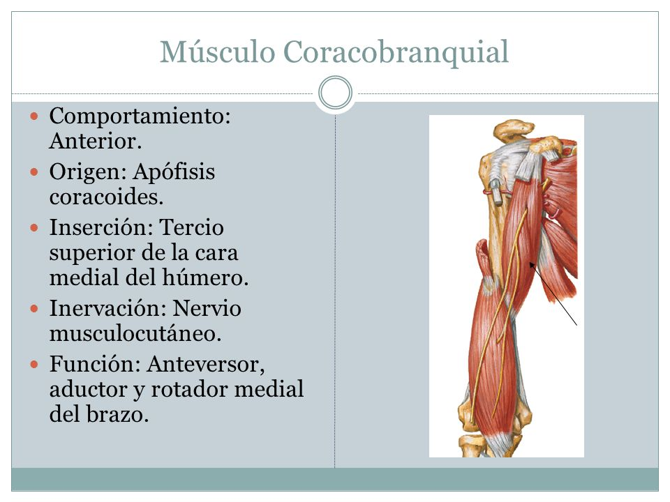 Músculo Coracobranquial Comportamiento: Anterior. Origen: Apófisis coracoides. Inserción: Tercio superior de la cara medial del húmero. Inervación: Ne