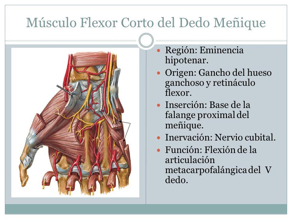 Músculo Flexor Corto del Dedo Meñique Región: Eminencia hipotenar. Origen: Gancho del hueso ganchoso y retináculo flexor. Inserción: Base de la falang
