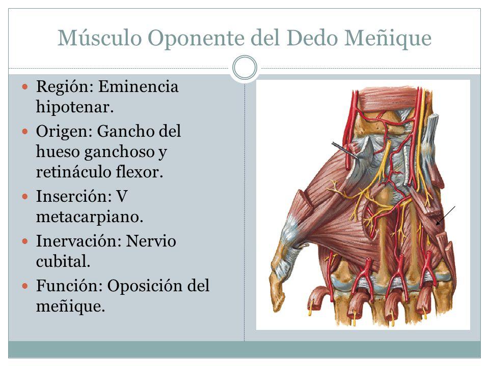 Músculo Oponente del Dedo Meñique Región: Eminencia hipotenar. Origen: Gancho del hueso ganchoso y retináculo flexor. Inserción: V metacarpiano. Inerv