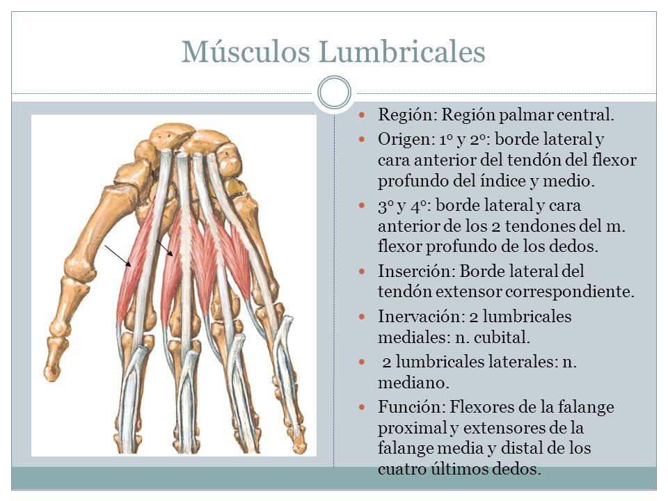 Músculos Lumbricales Región: Región palmar central. Origen: 1 o y 2 o : borde lateral y cara anterior del tendón del flexor profundo del índice y medi