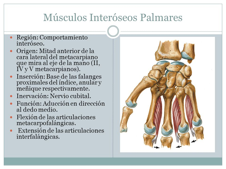 Músculos Interóseos Palmares Región: Comportamiento interóseo. Origen: Mitad anterior de la cara lateral del metacarpiano que mira al eje de la mano (