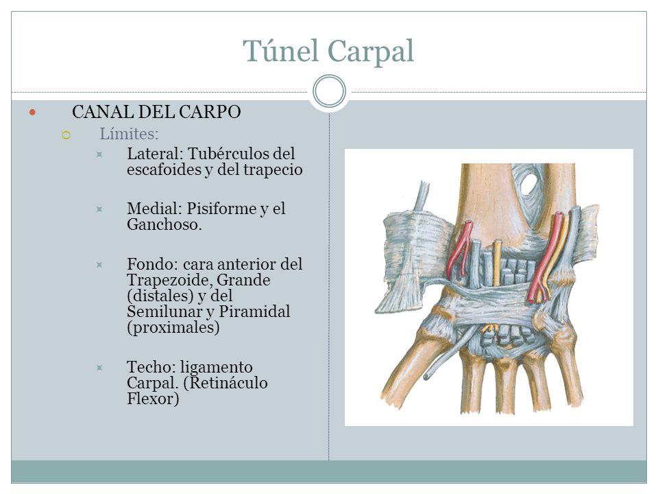 Túnel Carpal CANAL DEL CARPO Límites: Lateral: Tubérculos del escafoides y del trapecio Medial: Pisiforme y el Ganchoso. Fondo: cara anterior del Trap