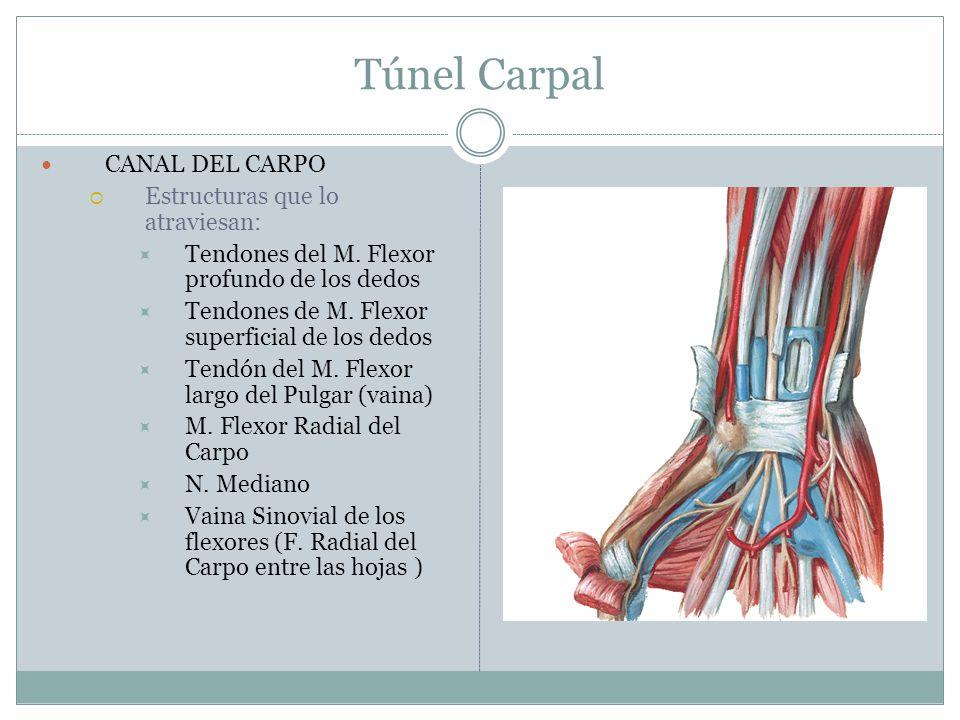Túnel Carpal CANAL DEL CARPO Estructuras que lo atraviesan: Tendones del M. Flexor profundo de los dedos Tendones de M. Flexor superficial de los dedo