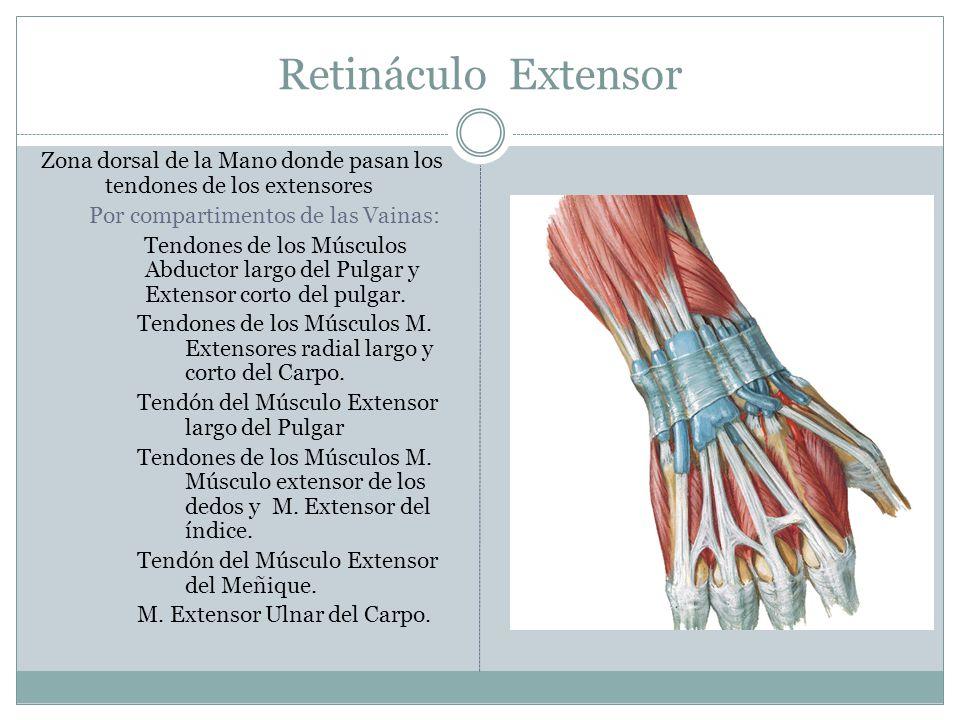 Retináculo Extensor Zona dorsal de la Mano donde pasan los tendones de los extensores Por compartimentos de las Vainas: Tendones de los Músculos Abduc