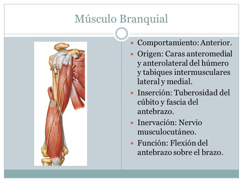 Músculo Branquial Comportamiento: Anterior. Origen: Caras anteromedial y anterolateral del húmero y tabiques intermusculares lateral y medial. Inserci