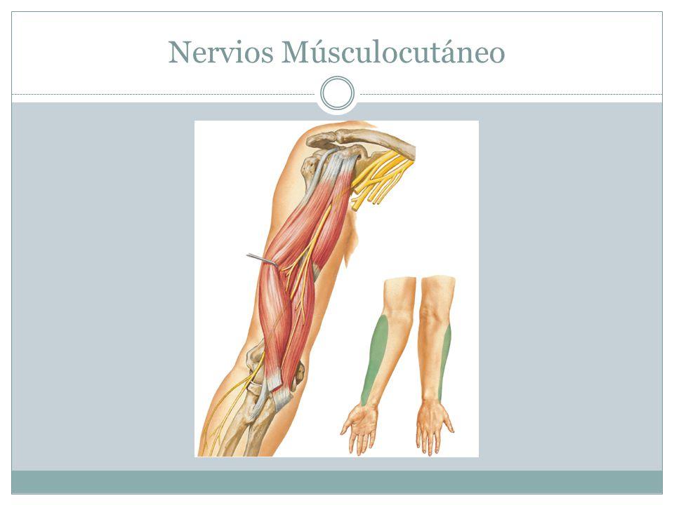 Nervios Músculocutáneo
