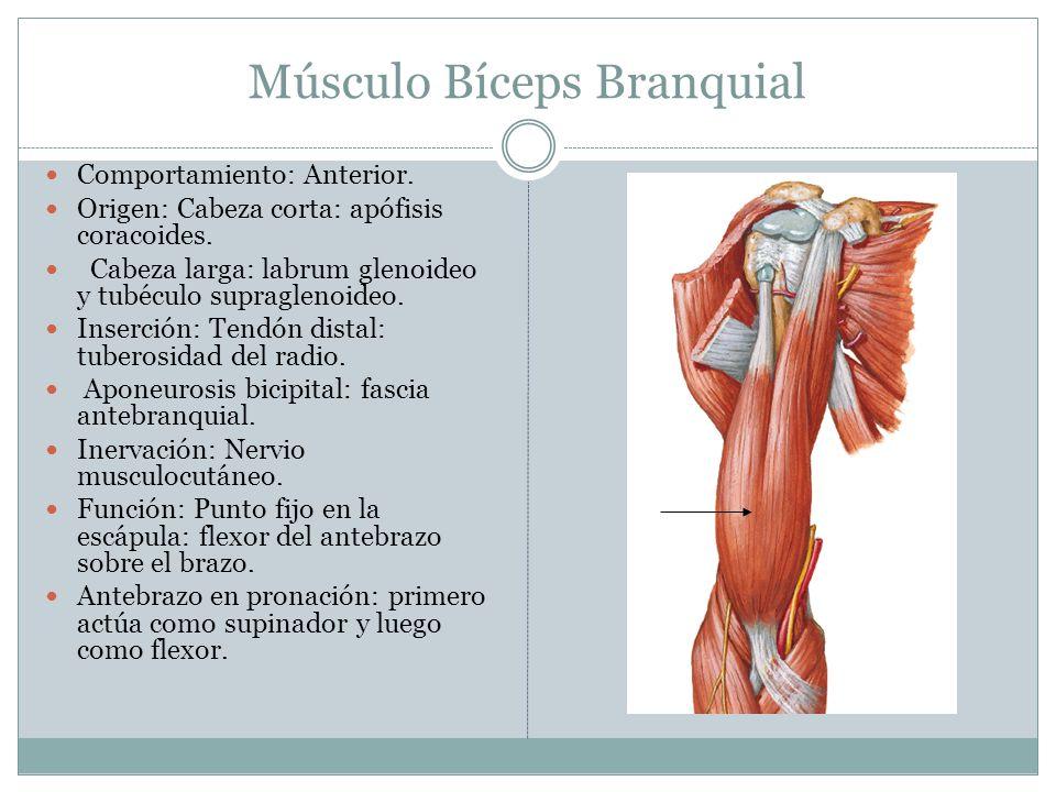 Músculo Bíceps Branquial Comportamiento: Anterior. Origen: Cabeza corta: apófisis coracoides. Cabeza larga: labrum glenoideo y tubéculo supraglenoideo