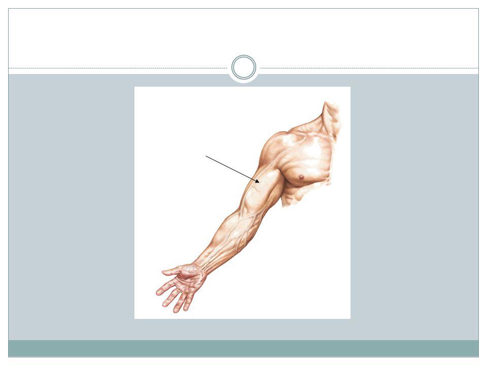 Músculo Tríceps Branquial Comportamiento: Posterior.