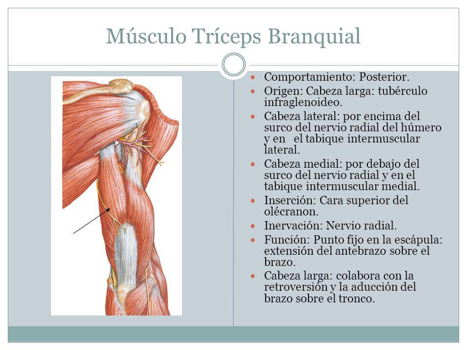Músculo Extensor del Dedo Índice Porciones: Porción posterior profunda.