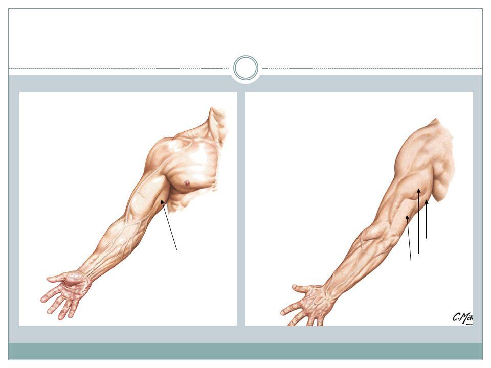 COMPORTAMIENTO POSTERIOR Músculos del Antebrazo