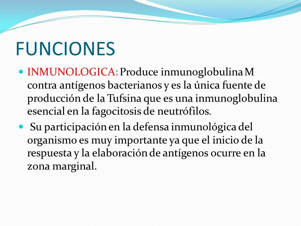 FUNCIONES HEMOSTATICA: se producen el factor 8 y el factor de Von Willebrand que son muy importantes en el proceso de la coagulación Sanguínea HEMATOLOGICA: almacena glóbulos rojos, plaquetas