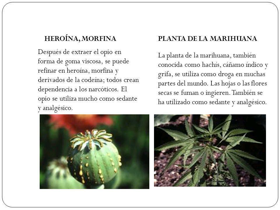 HEROÍNA, MORFINA Después de extraer el opio en forma de goma viscosa, se puede refinar en heroína, morfina y derivados de la codeína; todos crean depe