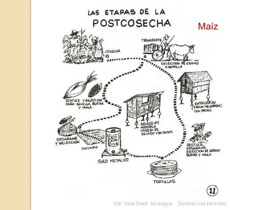 Maíz UNI. Sede Estelí. NicaraguaDocente Luis Dicovskiy