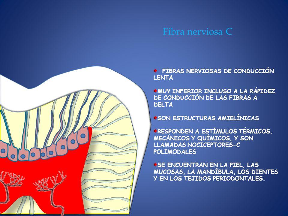 Fibra nerviosa C FIBRAS NERVIOSAS DE CONDUCCIÓN LENTA MUY INFERIOR INCLUSO A LA RÁPIDEZ DE CONDUCCIÓN DE LAS FIBRAS A DELTA SON ESTRUCTURAS AMIELÍNICAS RESPONDEN A ESTÍMULOS TÉRMICOS, MECÁNICOS Y QUÍMICOS, Y SON LLAMADAS NOCICEPTORES-C POLIMODALES SE ENCUENTRAN EN LA PIEL, LAS MUCOSAS, LA MANDÍBULA, LOS DIENTES Y EN LOS TEJIDOS PERIODONTALES.