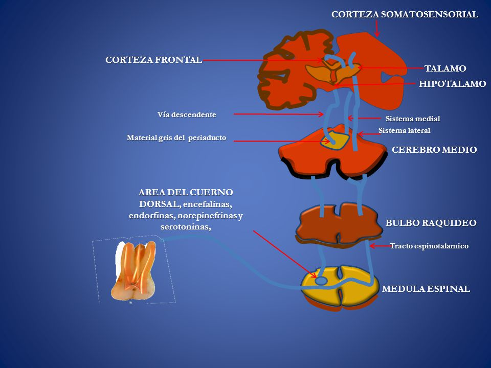 MEDULA ESPINAL BULBO RAQUIDEO CEREBRO MEDIO HIPOTALAMO TALAMO CORTEZA SOMATOSENSORIAL Tracto espinotalamico Sistema medial Sistema lateral CORTEZA FRONTAL Vía descendente Material gris del periaducto AREA DEL CUERNO DORSAL, encefalinas, endorfinas, norepinefrinas y serotoninas,