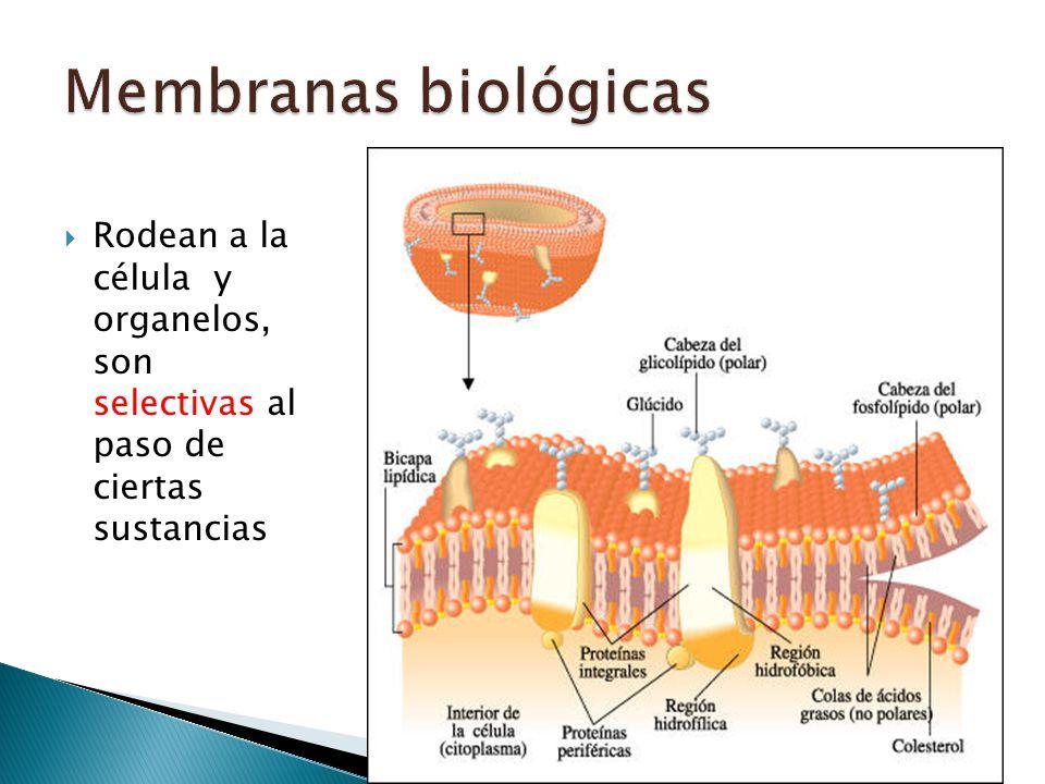 Rodean a la célula y organelos, son selectivas al paso de ciertas sustancias