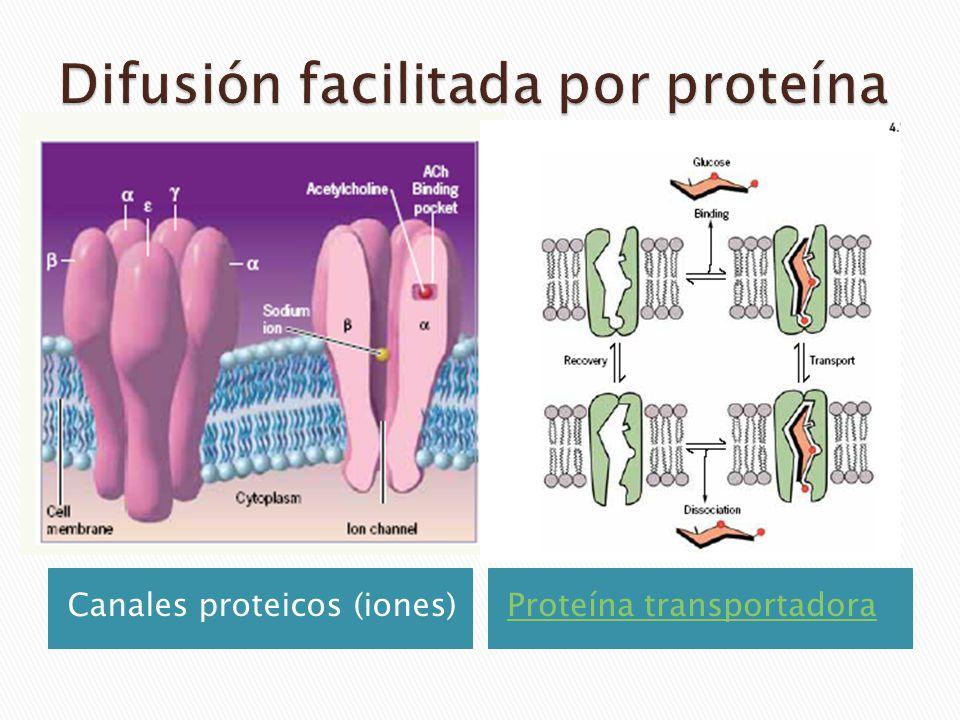 Canales proteicos (iones)Proteína transportadora